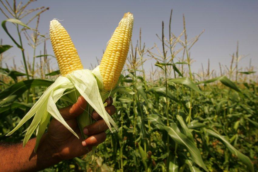 Farmers Reap Harvest In Gaza