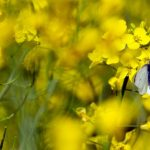 Neonikotinoide - Pestizide bedrohen Wildbienen und Schmetterlinge