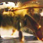 Schwänzeltanz mit dem Bienenroboter