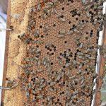 Glyphosat im Honig